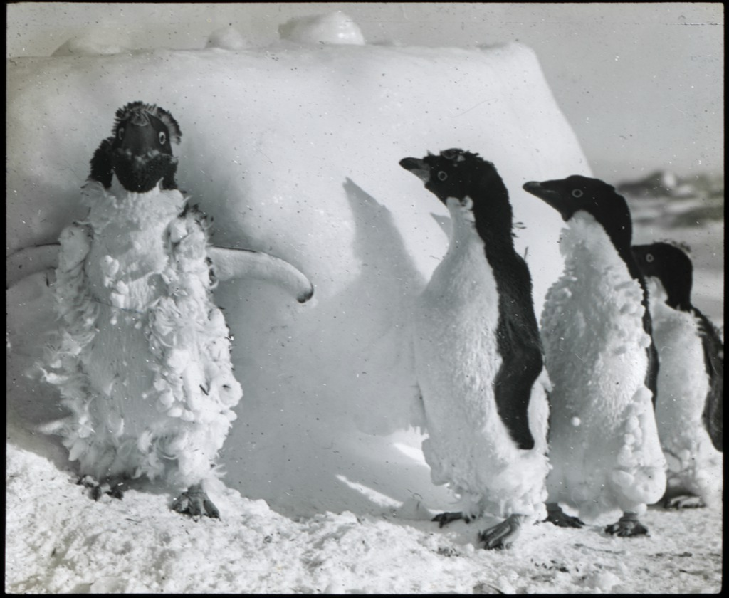 Adelie Penguins after a blizzard