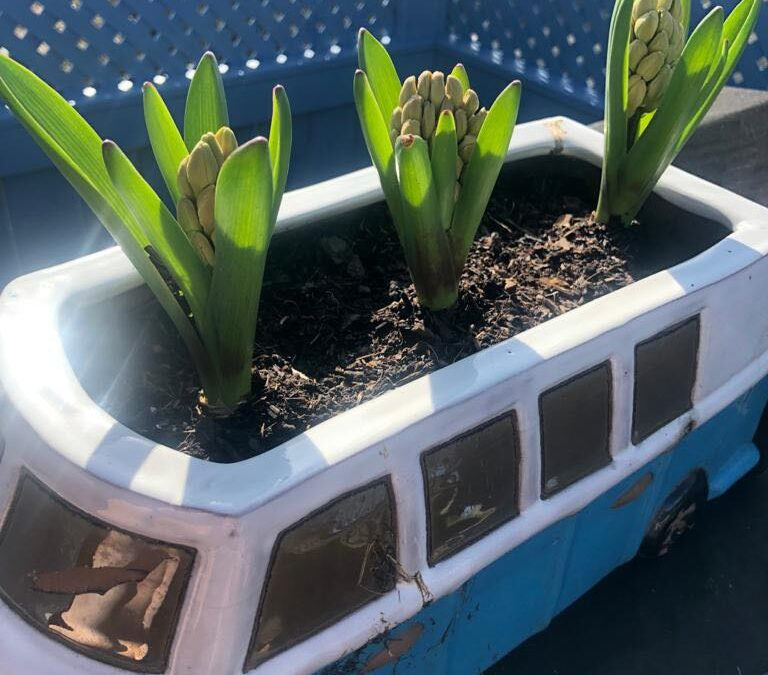 three bulbs blossoming in VW van style pot